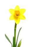 Daffodil. Single daffodil in front of a white background royalty free stock image
