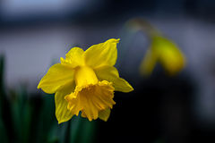 Daffodil. Single yellow Daffodil flower, blurred droopy flower background Royalty Free Stock Photo
