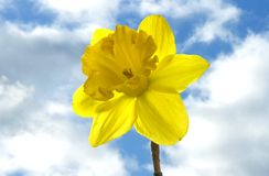 Daffodil in the sky. Close-up view of yellow daffodil against  spring cloudy sky Stock Images