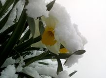Daffodil and snow spring Royalty Free Stock Image