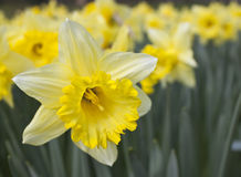Daffodil with soft focus on background. A single daffodil in focus with a background of soft focus daffodils stock illustration