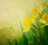 Daffodil spring background Royalty Free Stock Photography