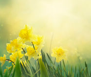 Daffodil spring background. Daffodil floral spring background. Easter Spring Flowers. Elegant Mother`s Day gift. Springtime green background royalty free stock images