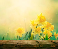 Daffodil spring background. Daffodil floral spring background. Easter Spring Flowers. Elegant Mother`s Day gift. Springtime green background. Wood table. Wooden royalty free stock photo