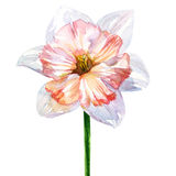 Daffodil spring flower or narcissus head isolated, watercolor illustration Royalty Free Stock Photos