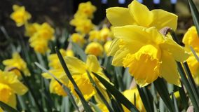 Daffodil Spring Flowers Close Up - Swaying Gently In the Wind. Spring Flower Daffodils Close Up - Swaying Gently In the Wind - Nature Plant Life Backgrounds stock video footage