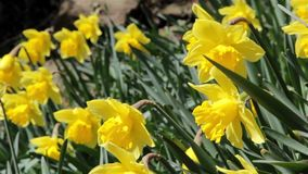 Daffodil Spring Flowers Close Up - Swaying Gently In the Wind. Spring Flower Daffodils Close Up - Swaying Gently In the Wind - Nature Plant Life Backgrounds stock footage