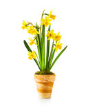 Daffodil spring flowers. Spring flowers. Flowerpot with small yellow daffodils isolated on white background. Clipping path included Royalty Free Stock Photo