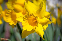 Daffodil spring flowers Royalty Free Stock Photos