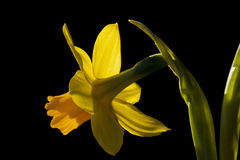 Daffodil alone Stock Photo