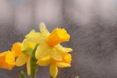 Daffodil spring rain. Closeup daffodil flower in spring rain shower Stock Photo