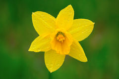 Daffodil spring Royalty Free Stock Images