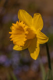 Daffodil in spring Royalty Free Stock Photography