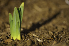 Daffodil sprout Stock Photos