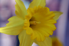 Daffodil and Stamen. Close shot of a daffodil and the stamen within royalty free stock photography
