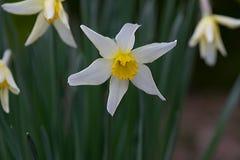 Daffodil Star, Yellow Trumpet Stock Image