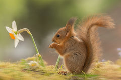 Daffodil staring. Close up of  young red squirrel staring at daffodil flowers Stock Images