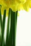 Daffodil stems Royalty Free Stock Photography