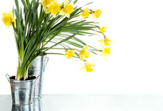 Daffodil still life growing in metal pots Stock Image