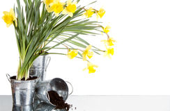Daffodil still life growing in metal pots Stock Photography