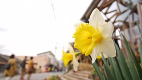 Daffodil on the street with people walking by. On the background stock video footage