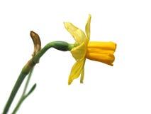 Daffodil su bianco fotografia stock libera da diritti