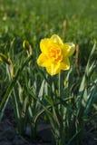 Daffodil Tahiti double narcissus Stock Image