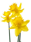 Daffodil. Three spring flower in studio Stock Photo