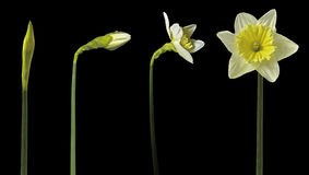 Daffodil time lapse Stock Photography