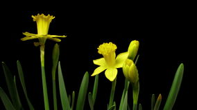 Daffodil Timelapse. Time-lapse of Daffodil flowers blooming stock footage