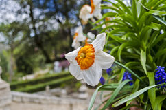 Daffodil in Tivoli - Italy. White daffodil in the gardens of Villa d'Este in Tivoli, Italy Stock Image