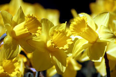 Daffodil Trio. Three daffodils, that look like a trio singing Stock Photo