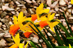 Daffodil Trumpets. Trumpets of Narcissi, or Daffodils, a familiar spring blook Royalty Free Stock Photo