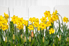 Daffodil and Tulip Floral Border. Yellow daffodils and tulip buds form a floral border against a painted white picket fence background. Copy space stock photos