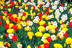 Daffodil and tulip Royalty Free Stock Image