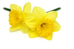 Daffodil Twins Stock Image