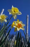 Daffodil Variations Stock Images