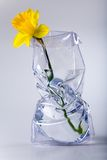 Daffodil in vase. Single daffodil flower in the modern vase with water Royalty Free Stock Image