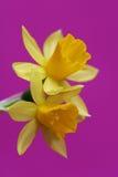 Daffodil on viloet Stock Photo