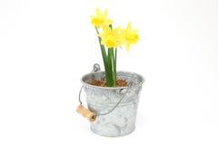 Daffodil w blaszanej puszce Zdjęcie Royalty Free