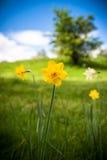 Daffodil w polu Zdjęcia Royalty Free