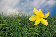 Daffodil with water droplets in grass Stock Image