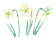 Daffodil watercolor painting set  on white background. Hand painted narcissus illustration. Stock Images
