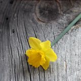 Daffodil on Weathered Wood. A single opened daffodil resting on gray, weathered wood Royalty Free Stock Photography