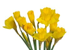 Daffodil on white. Royalty Free Stock Photo