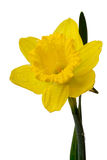 Daffodil on white Royalty Free Stock Photography