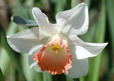 Daffodil royalty free stock photos