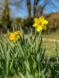 Daffodils blooming in spring sunlight stock images
