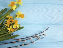 Daffodil willow on a blue wooden fresh congratulations. Daffodil willow on a blue wooden congratulations royalty free stock image