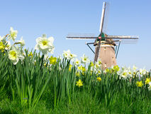 Daffodil and Windmill Landscape Royalty Free Stock Photography